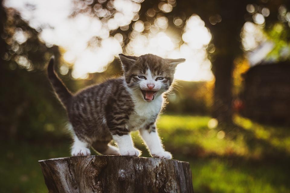 Cat, Bébé, Sweet, Mignon, Chaton, Animal De Compagnie