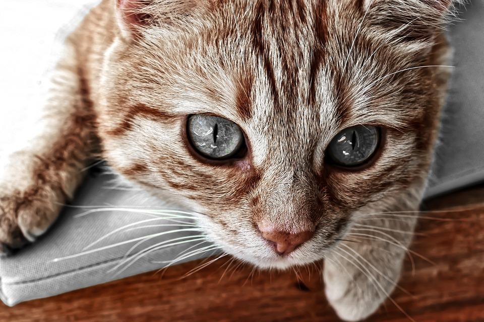 Cat, Tabby Rosso Sgombro, Gatto Domestico, Rosso