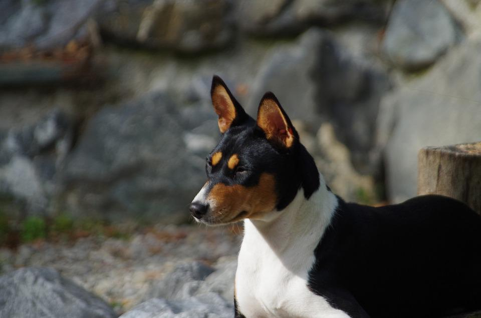 Basenji, Dog, Purebred, Pets, Portrait, Of The Congo
