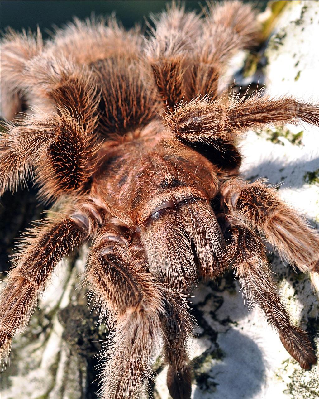 картинки тарантула большого паука