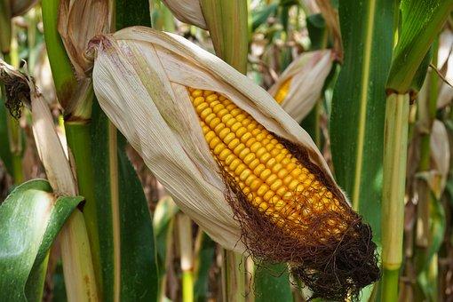 Кукуруза сдала позиции. Перспективы роста производства кроются в увеличении потребления на корма и развитии глубокой переработки