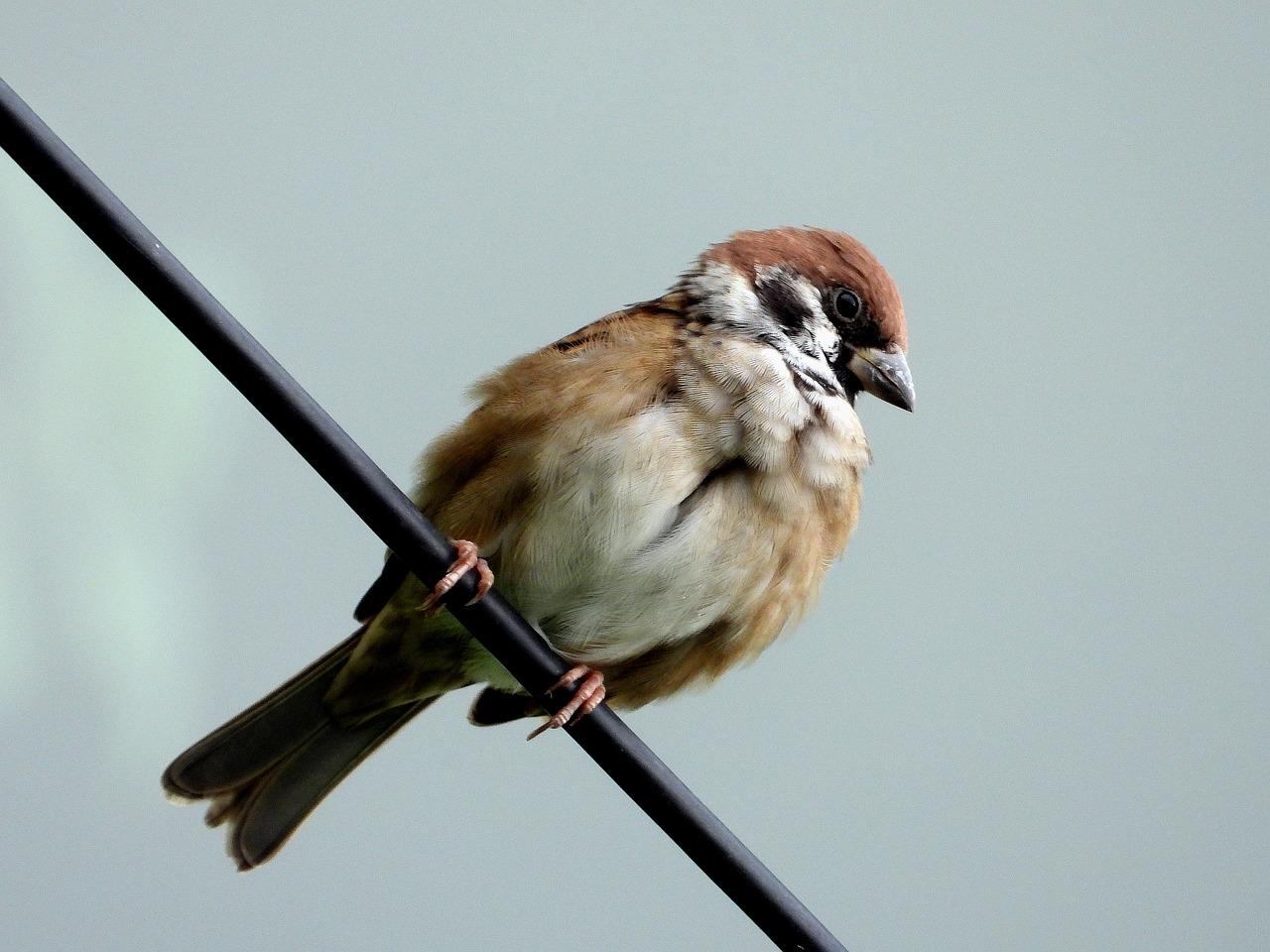 фото птиц воробьев джигиты получается что