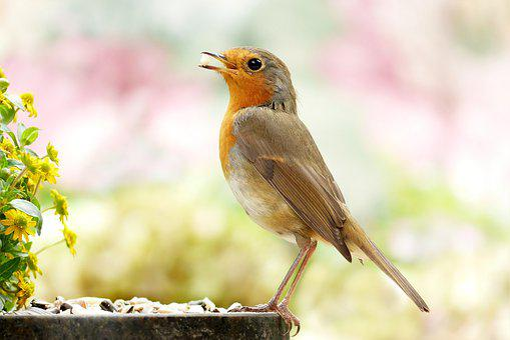 1,000+ Free Robin & Bird Images - Pixabay