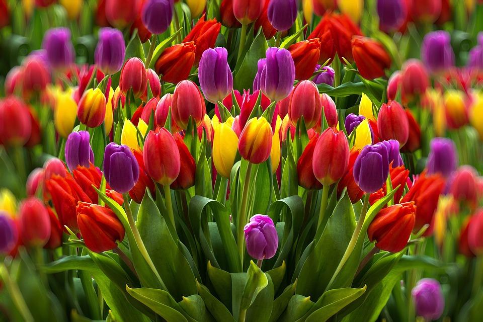 Tulipani, Colorato, Fiori, Primavera, Giardino, Flora