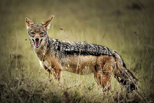 Jackal, Animal, Wild Life, Wild, Nature