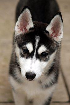 Siberian Husky, Husky, Puppy, Dog