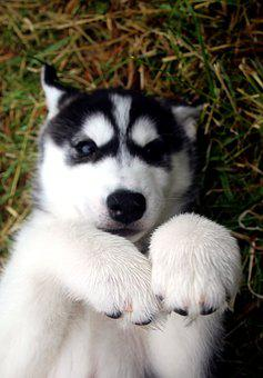 Siberian Husky, Husky, Dog, Canine, Pet