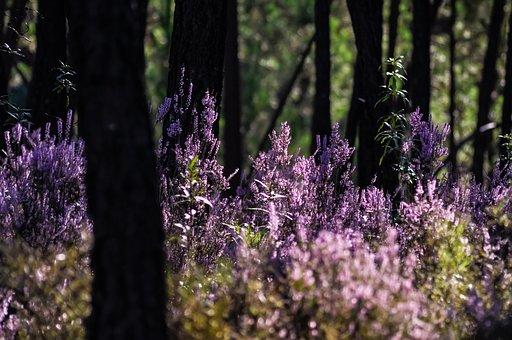 森林, ヘザー, 紫, 雰囲気, 自然, 植物, 緑, 風景, 秋, 夏, 木