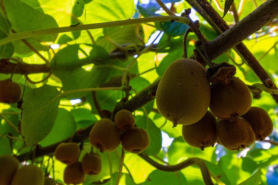 Kiwi, Agricultura, Granja, Frutas, Naturaleza, Verde