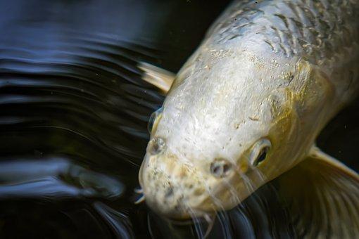 锦鲤, 池塘, 鱼, 日语, 性质, 异国情调
