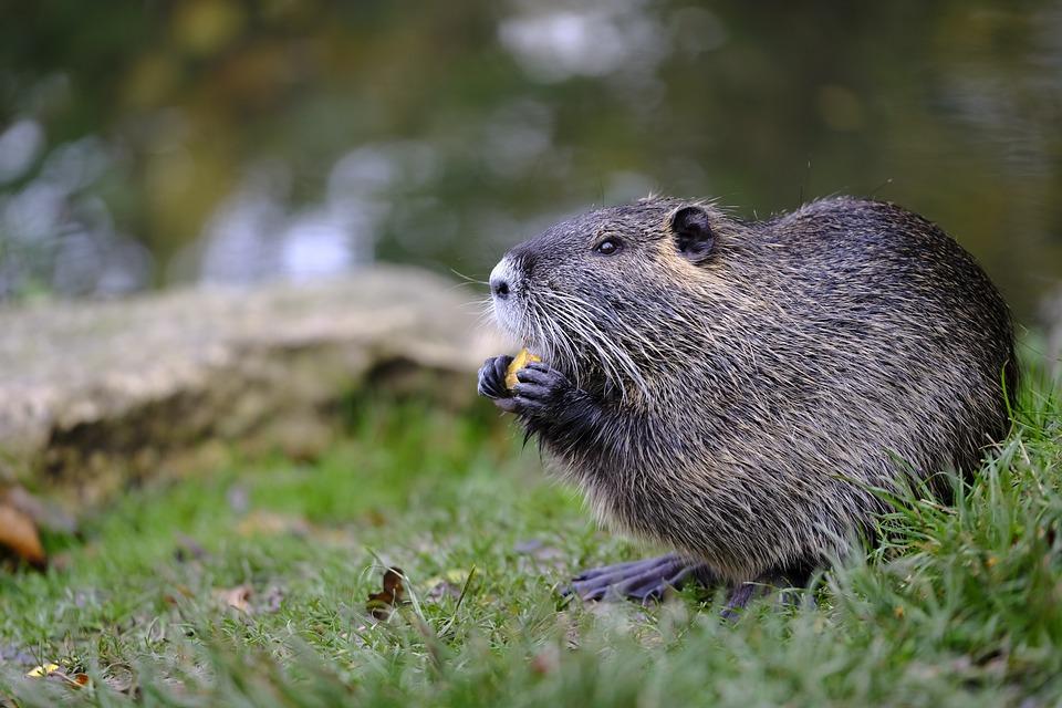Beaver, Muskrat, Rodent, Gnaw, Eat, Ondatra Zibethicus