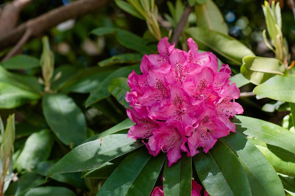 Plante rhododendron