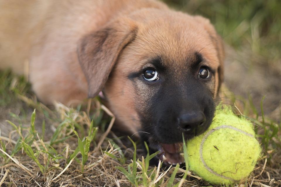 Puppy, Dog, German Shepherd, Ridgeback, Crossbred, dog chewing, dog behavior