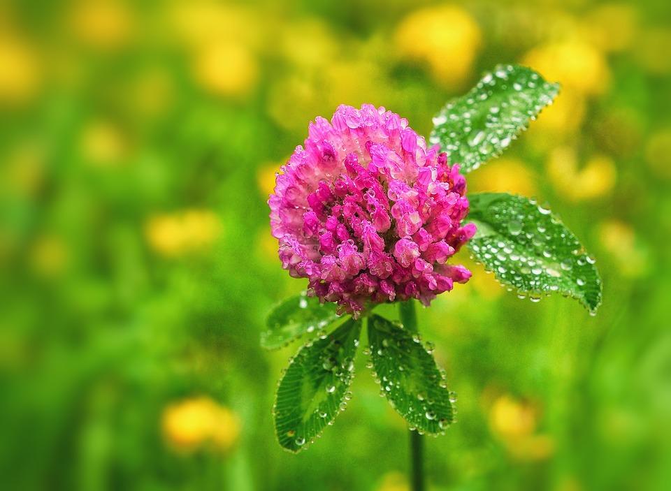 Fiori Quadrifoglio.Fiore Di Trifoglio Quadrifoglio Foto Gratis Su Pixabay