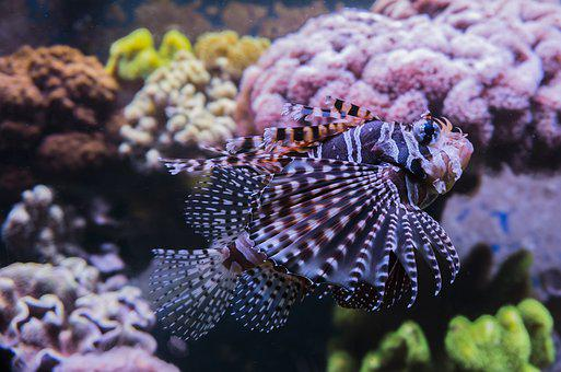 狮子鱼, 红色火灾鱼, 咸水, 有毒, 美丽, 水族馆, 珊瑚礁, 危险, 水下