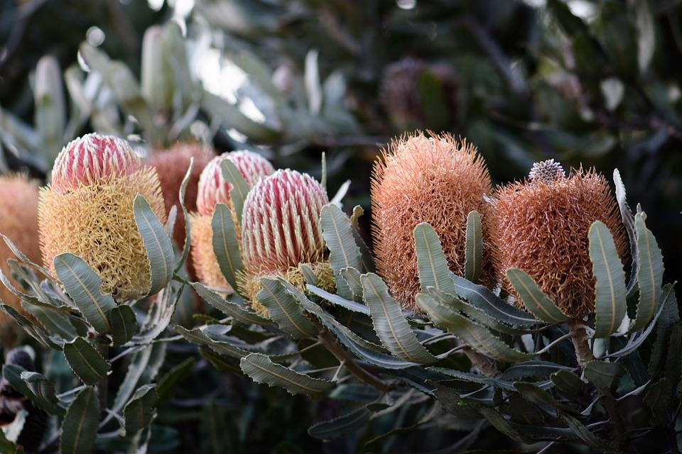 Banksia, Natives, Flowers, Australian, Bloom, Plant