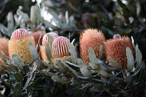 Banksia, Natives, Flowers, Australian