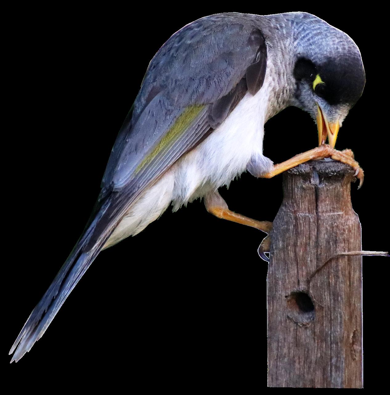 鳥 騒々しい鉱夫 ミツスイ科 - Pixabayの無料写真