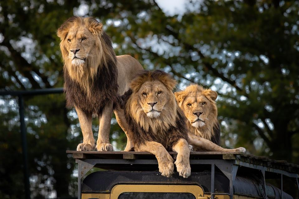 Leones devoran a cazadores ilegales de rinocerontes. Unos leones devoraron a cazadores furtivos de rinocerontes en una reserva sudafricana.