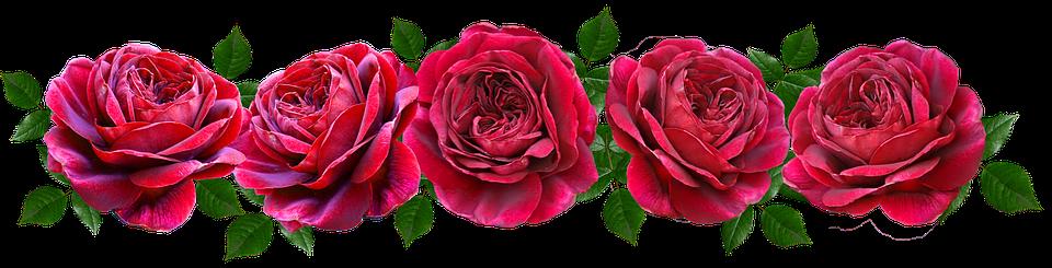 Цветы, Красный, Розы, Романтический, Баннер, Ароматные