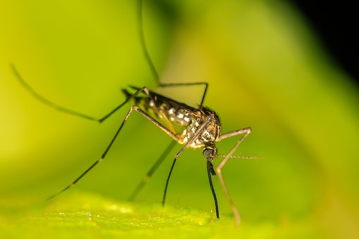 Mosquito, Insect, Sting, Nature