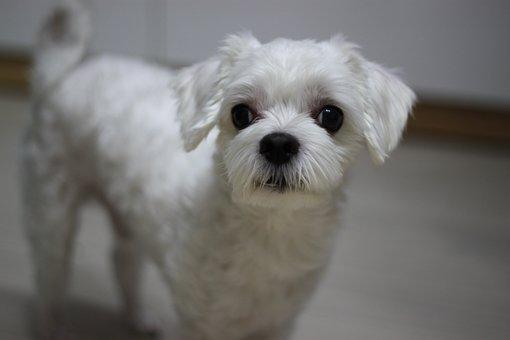 Dog, 子犬, 動物, つ, かわいい, 愛らしい, 甘い, マルチーズ