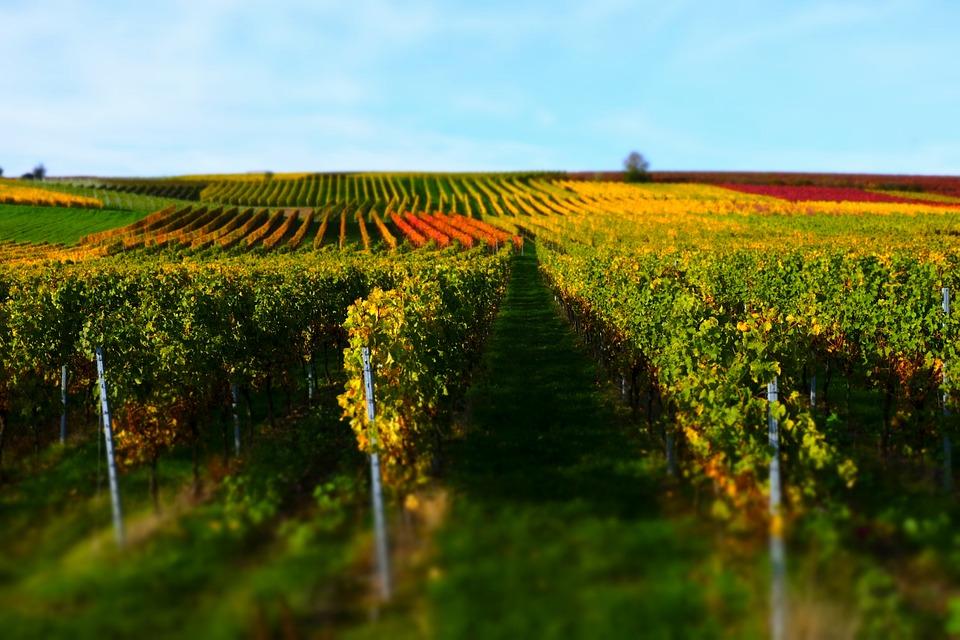 Vignoble, Vignes, Vin, L'Automne, Agriculture