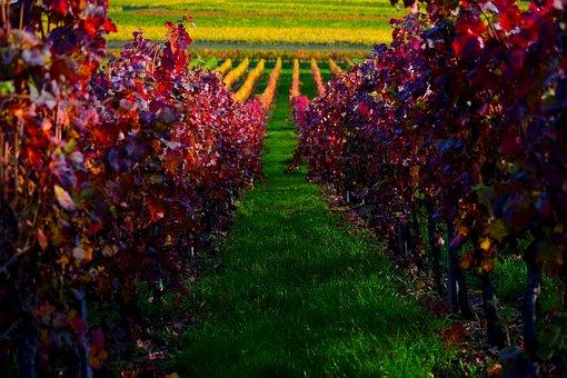Weinberg, Rebstöcke, Wein, Herbst