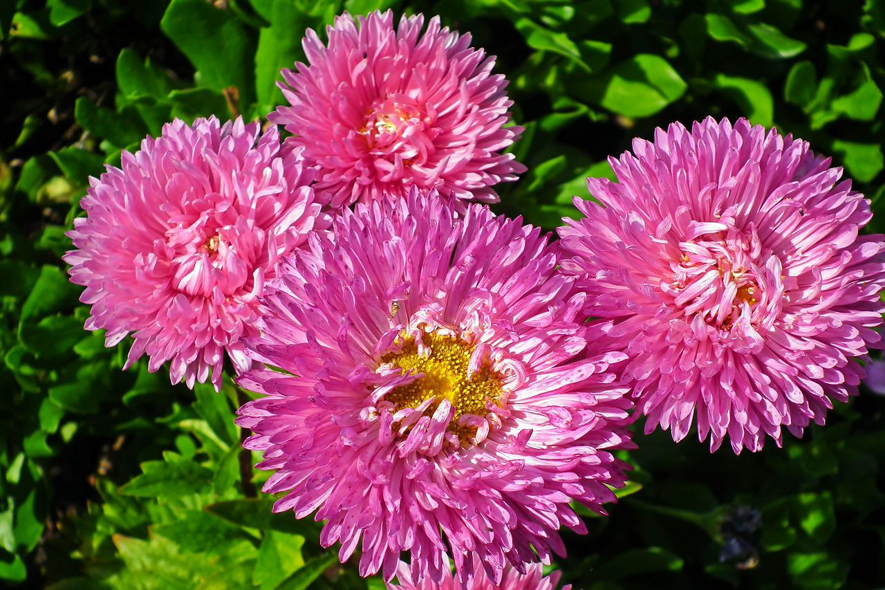 Необычные фото цветов астр дорожка огороде