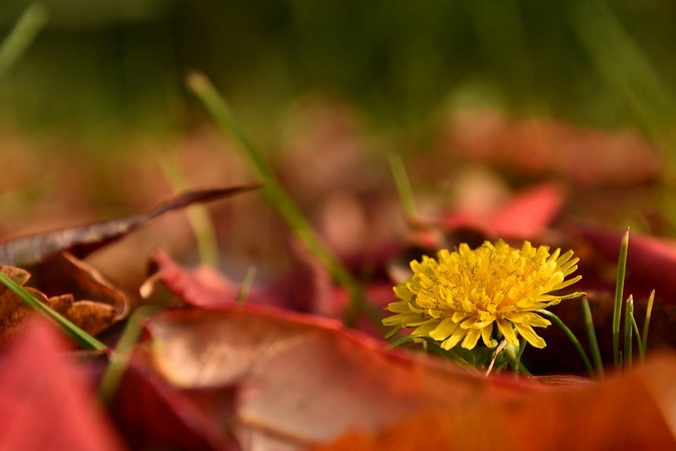 タンポポ, コントラスト, 春秋には, 春, 秋, Ecetfa, 葉, 自然, 花, 草原