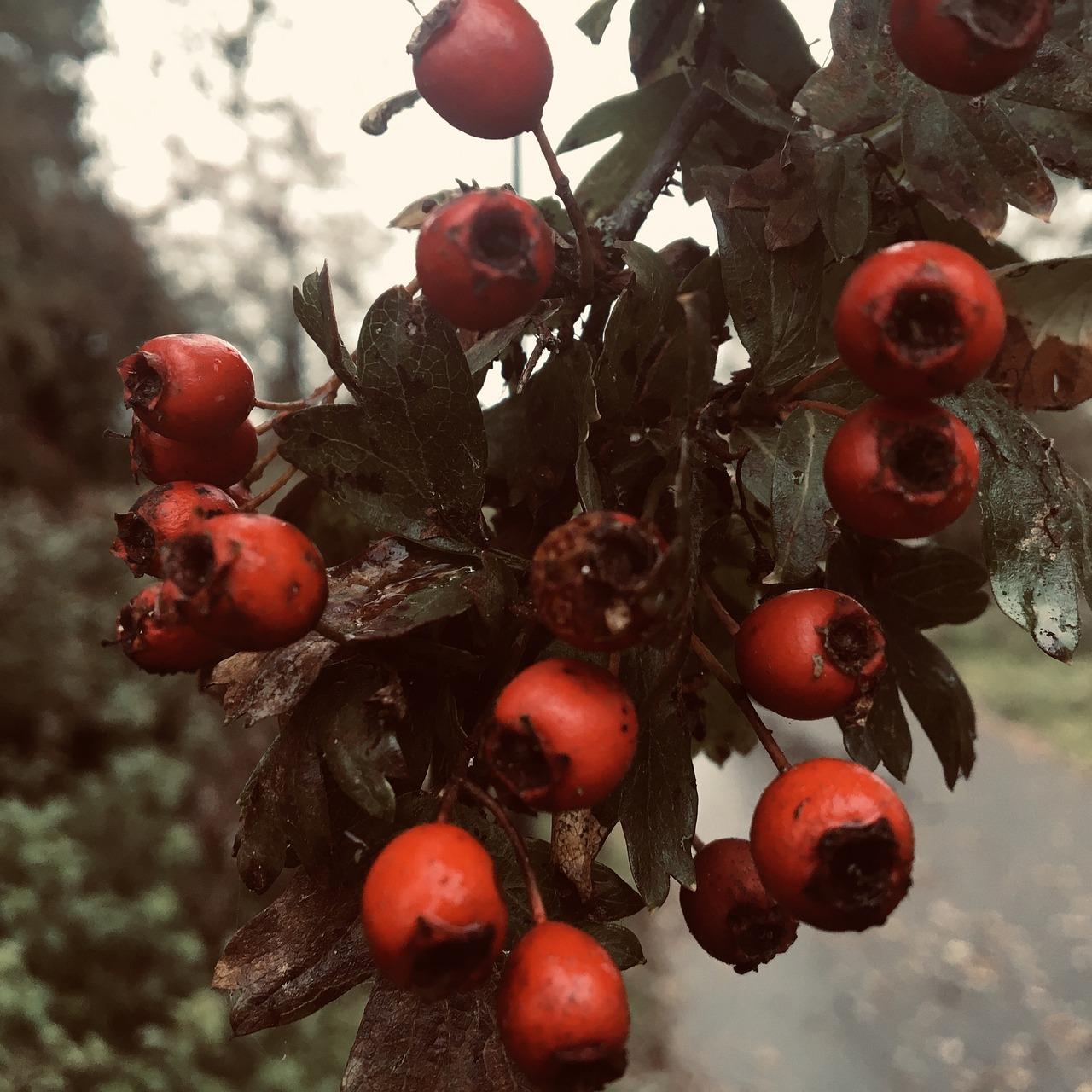 интересное сегодняшний боярышник декоративный фото ягоды печени