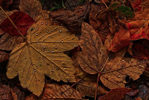 Maple Leaf, Autumn, Dewdrop, Raindrop