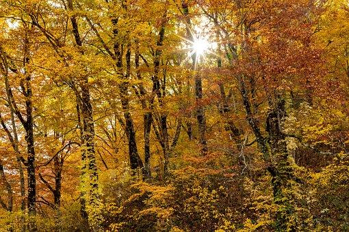 風景, 森林, 秋, 黄葉, 太陽光, 光芒, ブナの原生林, 白神山地