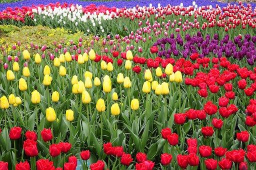 Tulip, Amsterdam, Keukenhof, Colorful