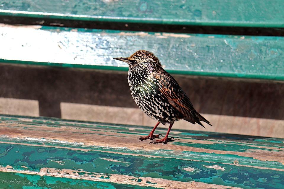 Starling, European Starling, Bird, Sparrows, Plumage