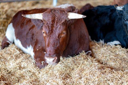 Beef, Cow, Pinzgauer, Flock, Bio