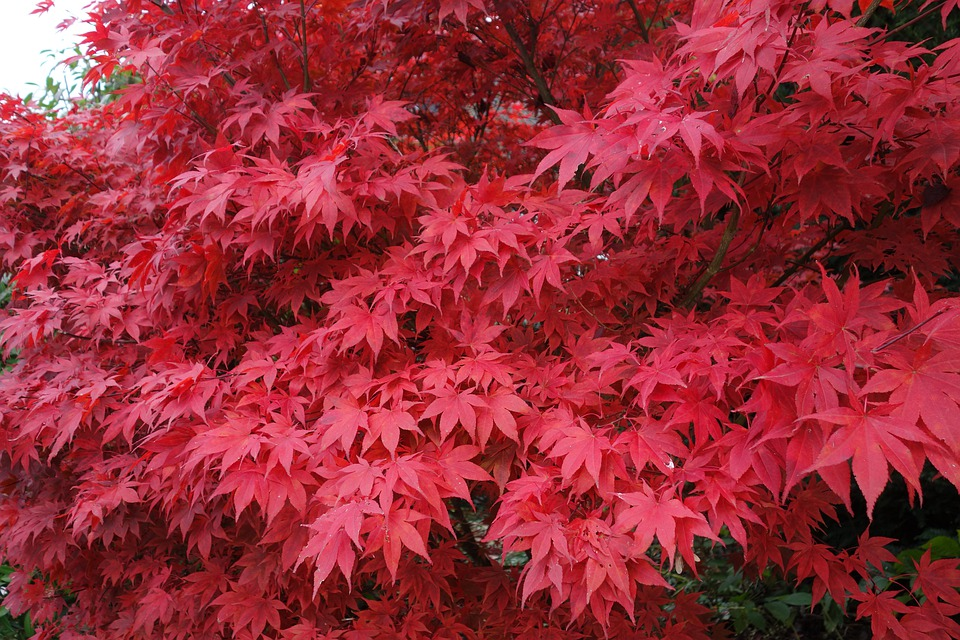Maple, Érable, Érable Du Japon, Rouge, Feuilles, Nature