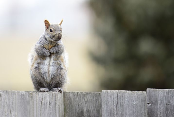 Image of a squirrel sitting on a fence.