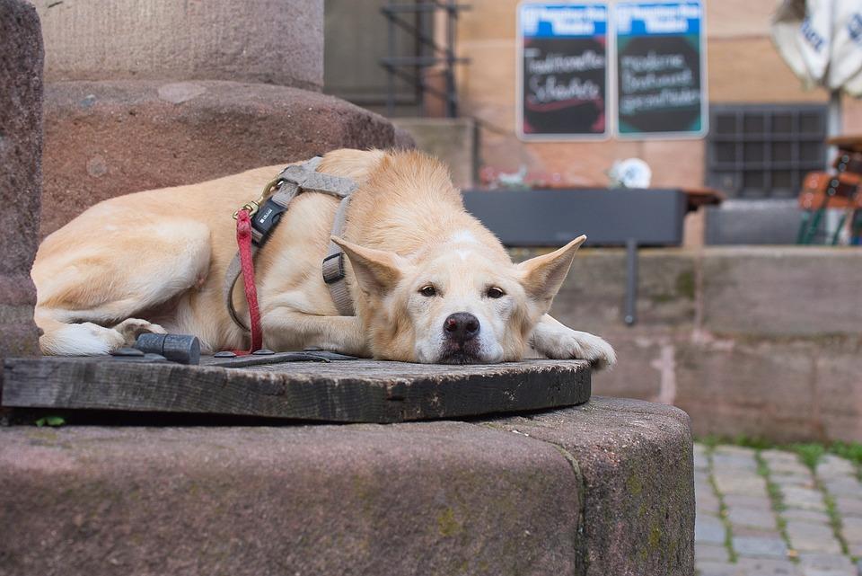 Dog Weary Domestic Animal - Free photo on Pixabay