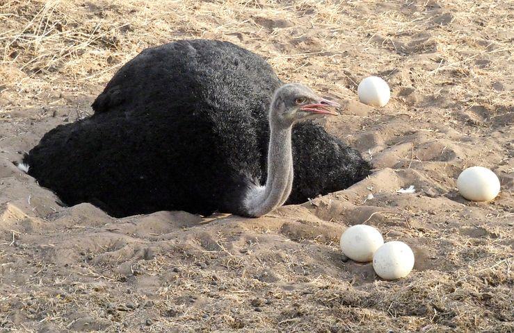 Картинка страус и яйцом