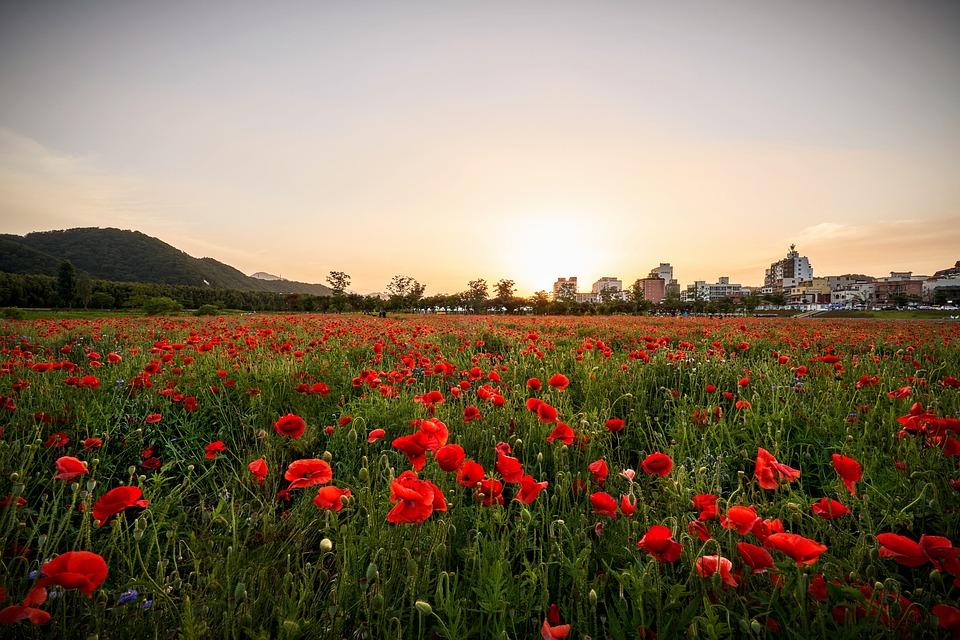ポピー, 花, 植物, 自然, レッド, 花弁, ばね, 派手な, 草原, 風景, 背景, 日没, 野, 花畑