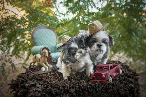 Pip And Murphy, Shih Tzus, Dogs