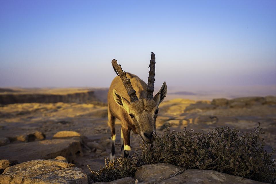 Animal, Mitzpe Ramon, Goat, Horns, Hooves, Desert