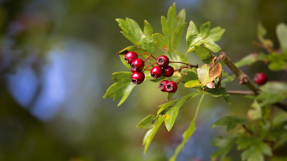 Berries Oak Tree Free Photo On Pixabay