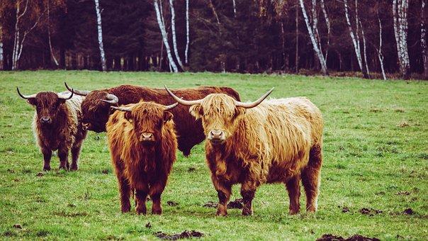 Galloway Buey, Vaca, Pastos, Toro