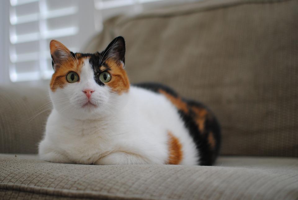 Calico Cat Animal , Free photo on Pixabay