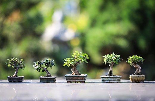Bonsai, Trees, Plants, Ornamental Trees