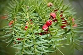 Yew, Berries Yew, Tree Fruits