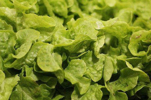 Salad, Salad Plant, Agriculture, Healthy