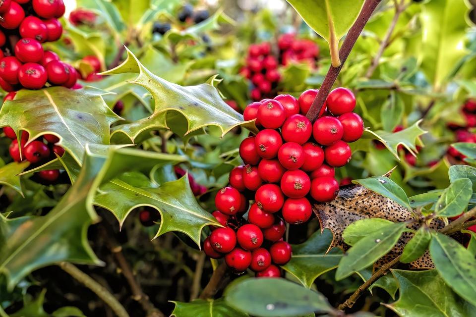Holly, Ilex Aquifolium, Comuni Agrifoglio
